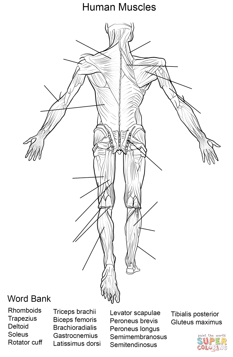 This is a graphic of Irresistible Muscular System Coloring Book