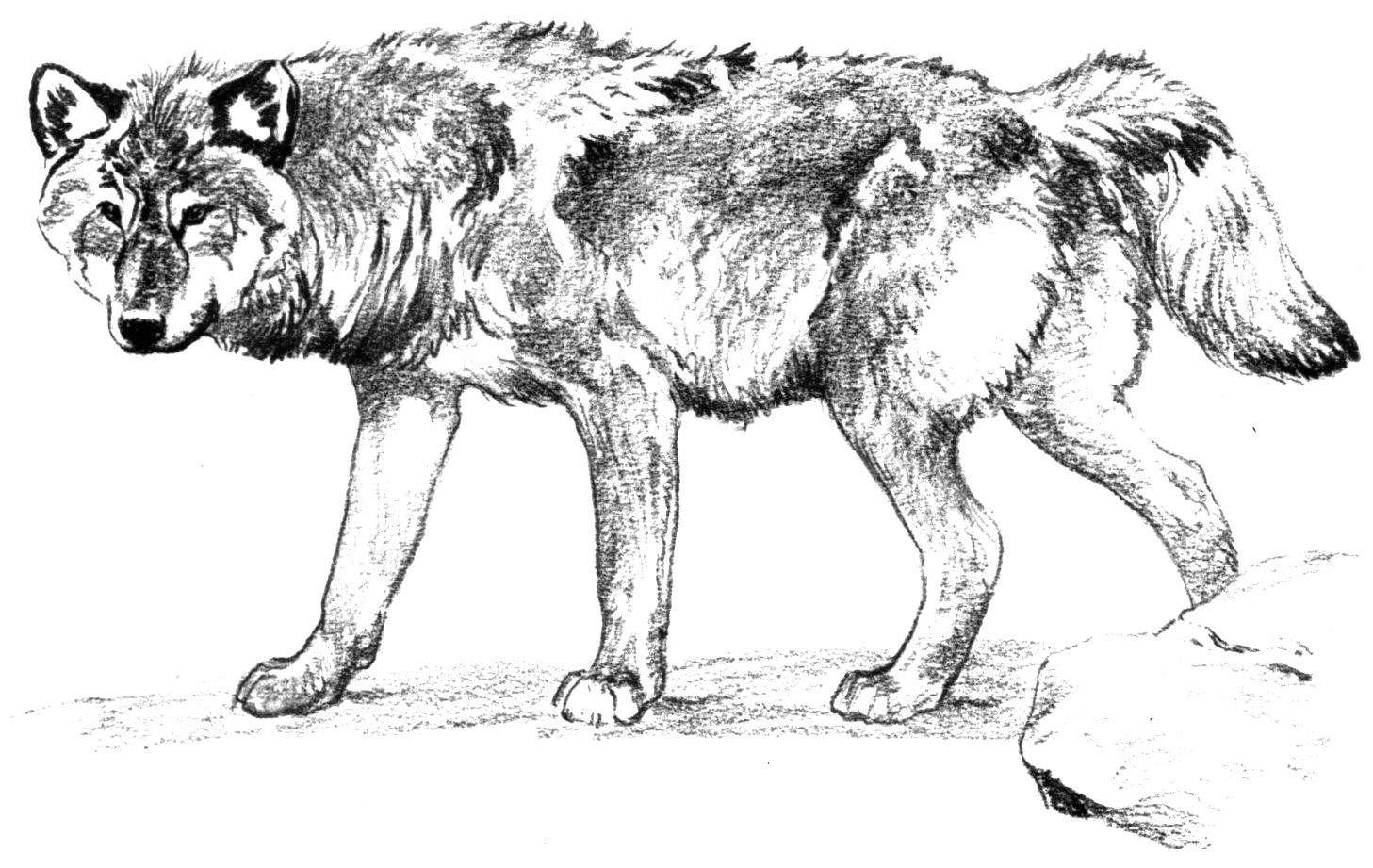 Картинки красного волка напечатать