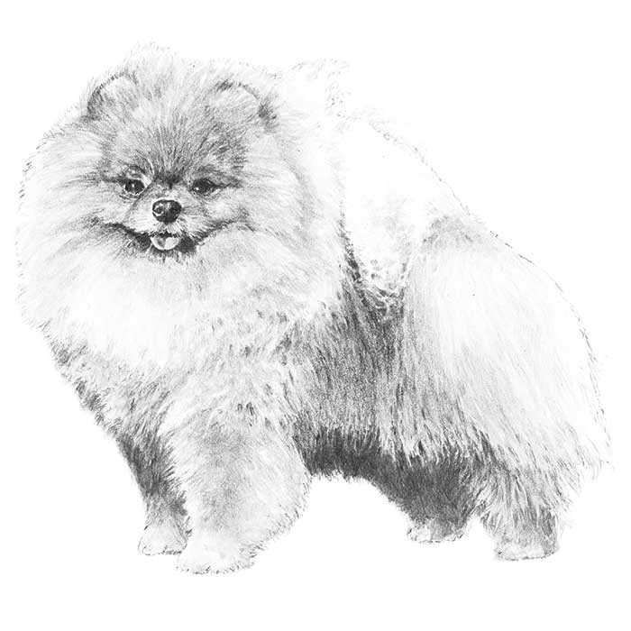 Pomeranian Coloring Page - Coloring Home