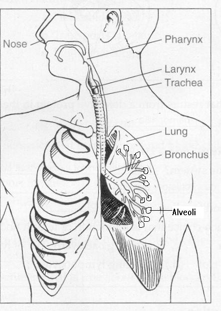Respiratory System Coloring Pages