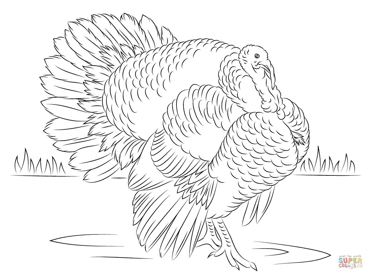 Wild Turkey Coloring Page Coloring