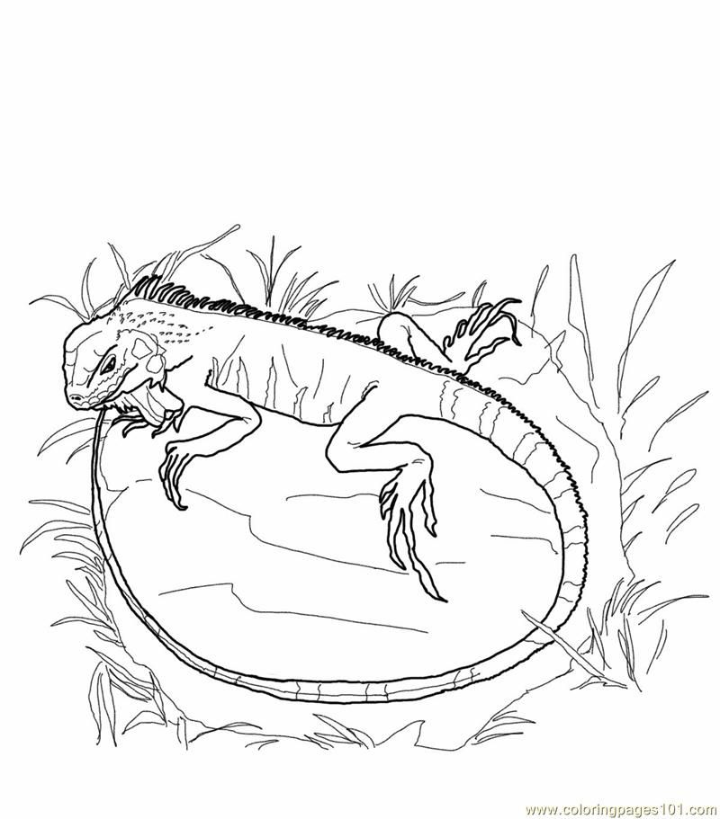 Iguana Coloring Page Coloring
