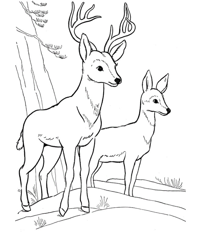 deer coloring pages - photo#28