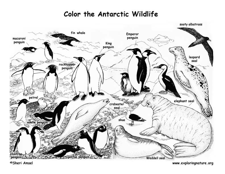 Antarctic Animals Coloring Pages Coloring Home