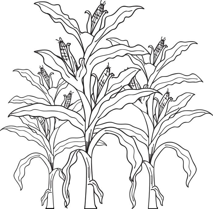 Ear of corn coloring page az coloring pages for Corn stalk template