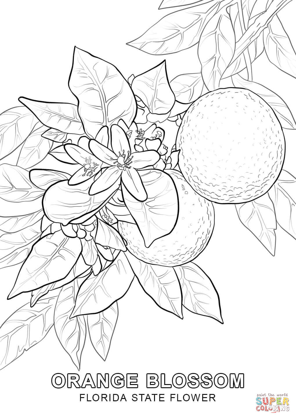 Florida State Flower coloring page | Free Printable Coloring Pages