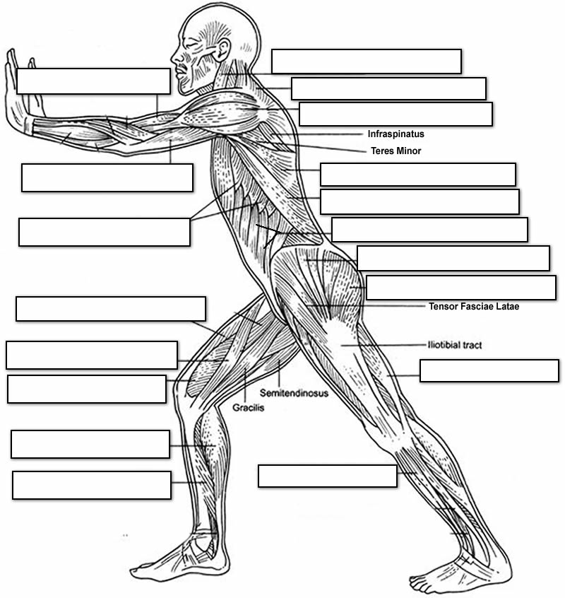 Muscular System Human Side Coloring Page Coloring Home