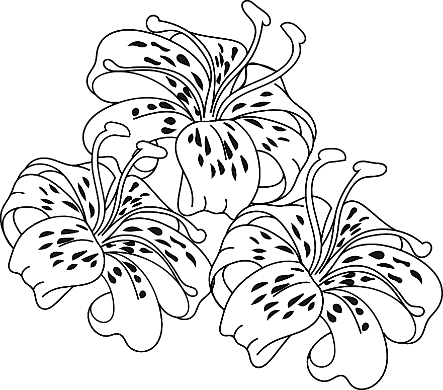 Lily Flower Coloring Page : Tiger Lily Flower Coloring Pages Mvmnetf Better Homes And Gardens Coloring Home