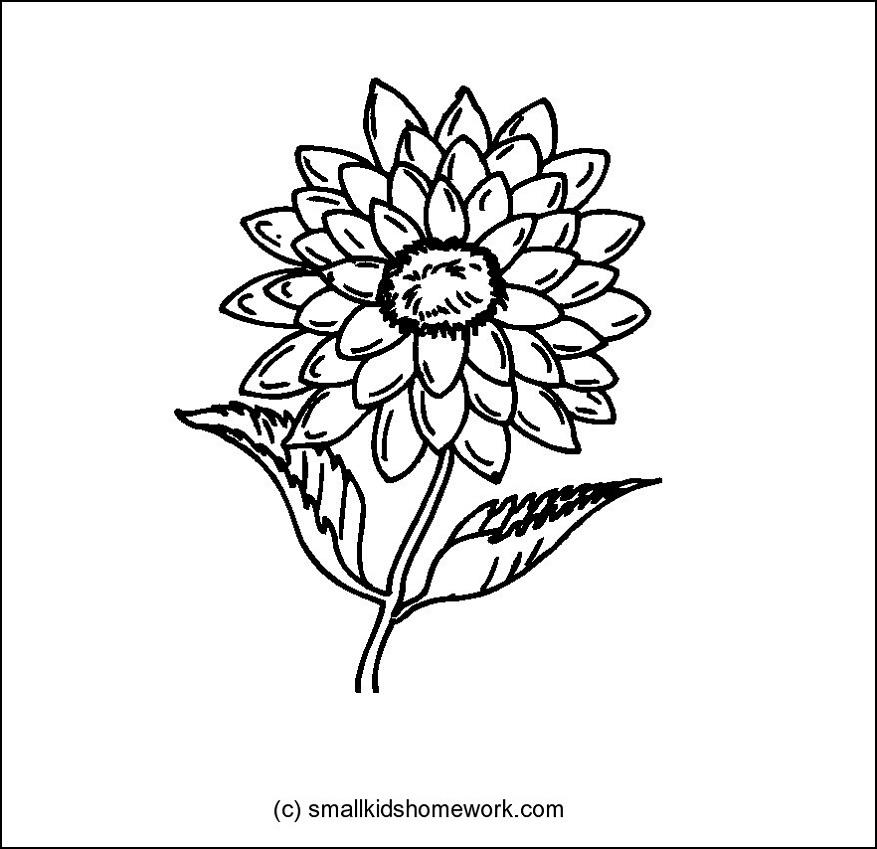 Dahlia Flower Information Dahlia Flower Outline And