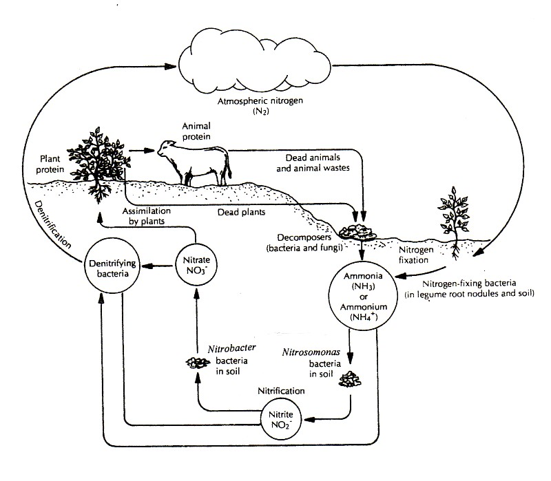 Printables The Nitrogen Cycle Worksheet nitrogen cycle worksheets davezan