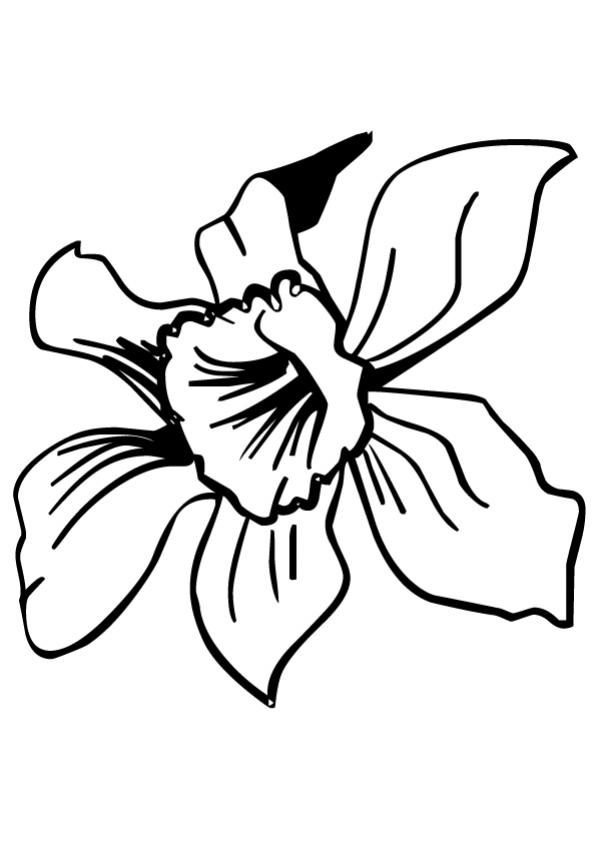 FLOWER coloring pages - Daffodil