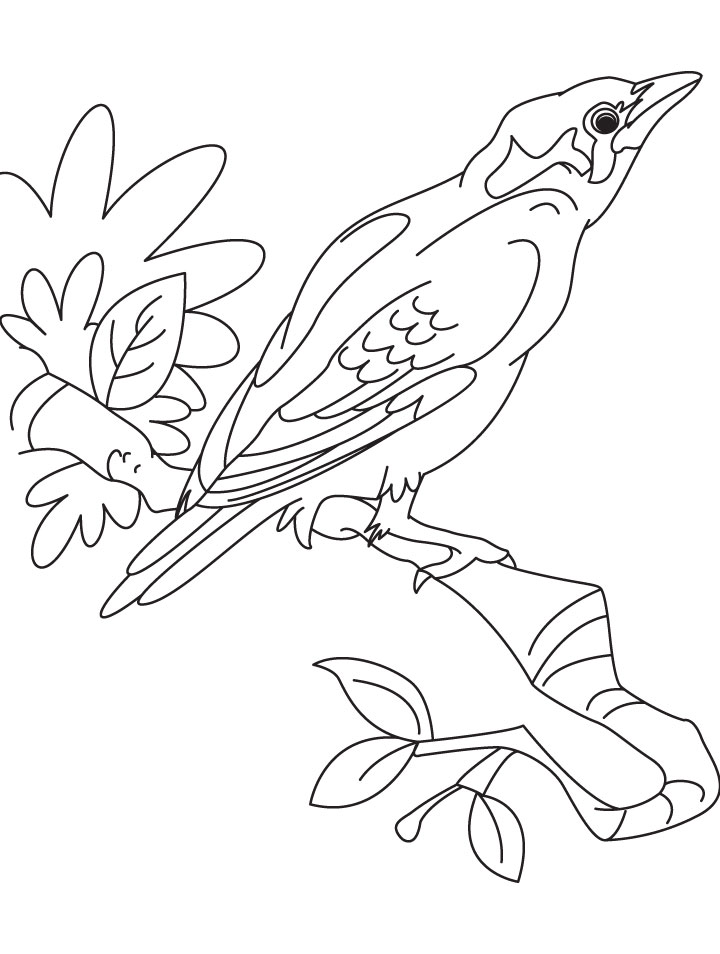 Mynah Bird Drawing