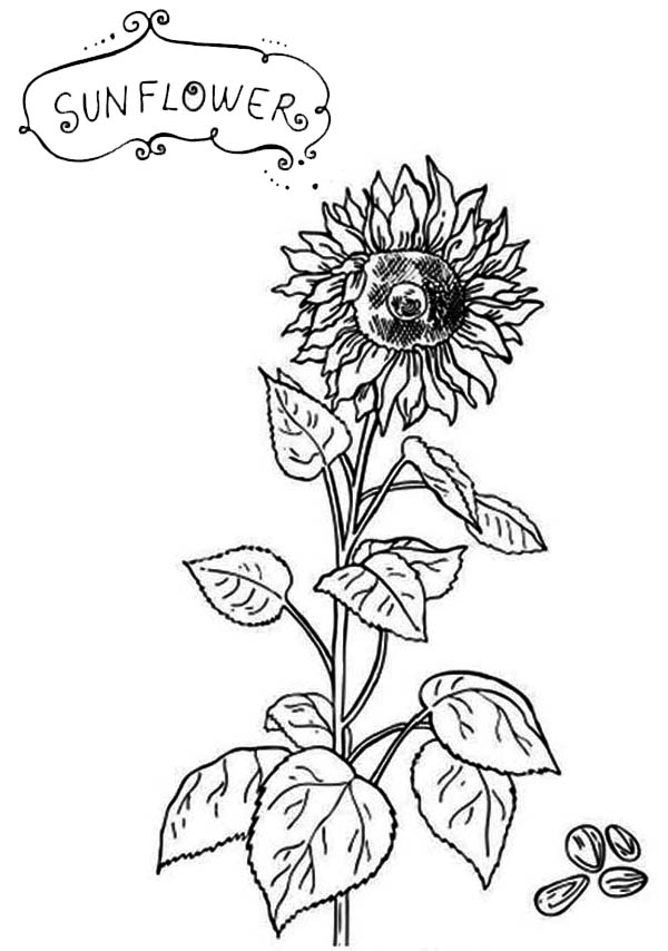 Sunflower Seeds Coloring Page - Download & Print Online Coloring ...