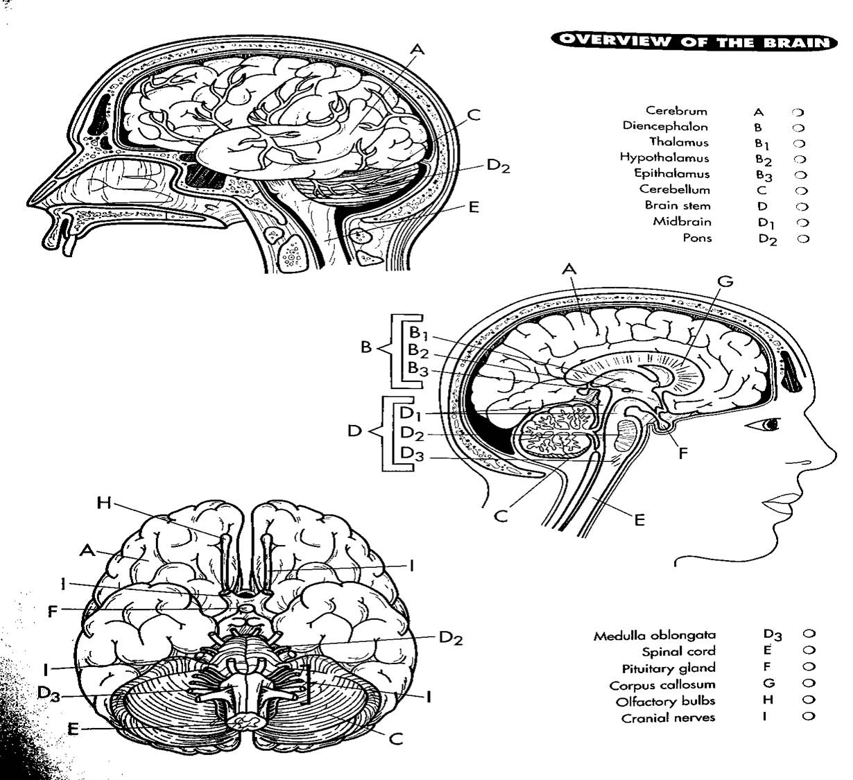 Human brain coloring page coloring home for Nervous system coloring pages