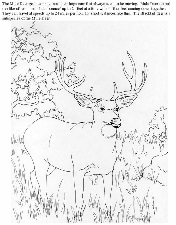 white tailed deer coloring pages - photo#12