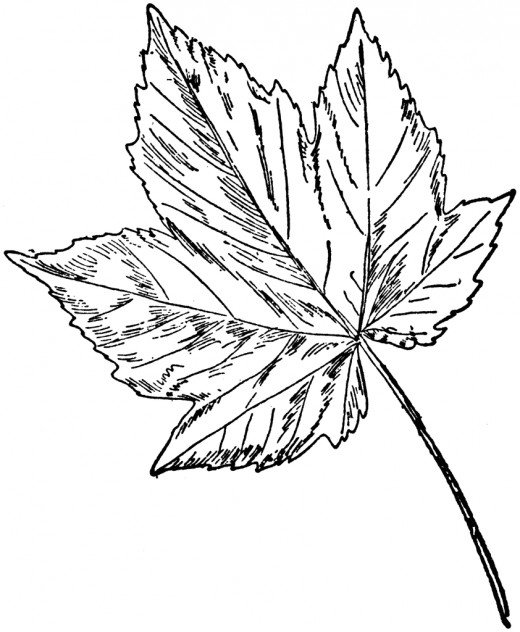 Sycamore Leaf Template Coloring