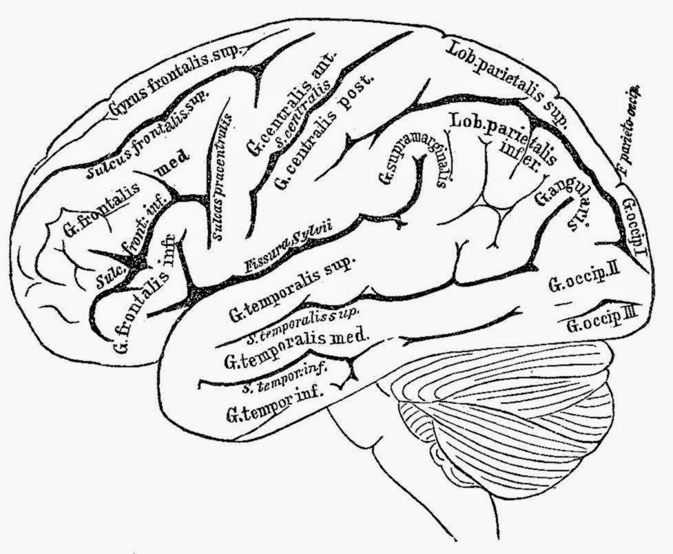 human brain coloring page