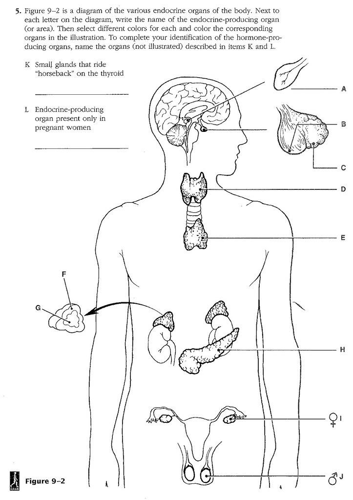 Unit 6 Endocrine System Diagram   Coloring Home