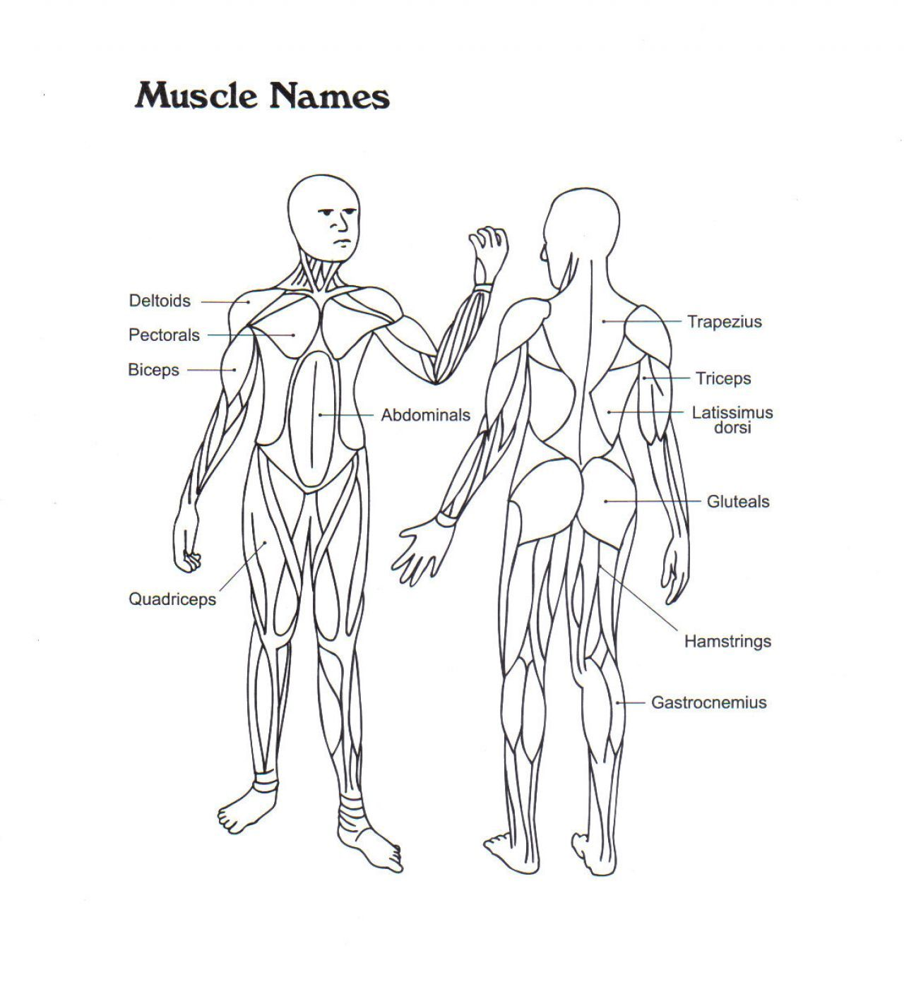 muscular system coloring pages - photo#10