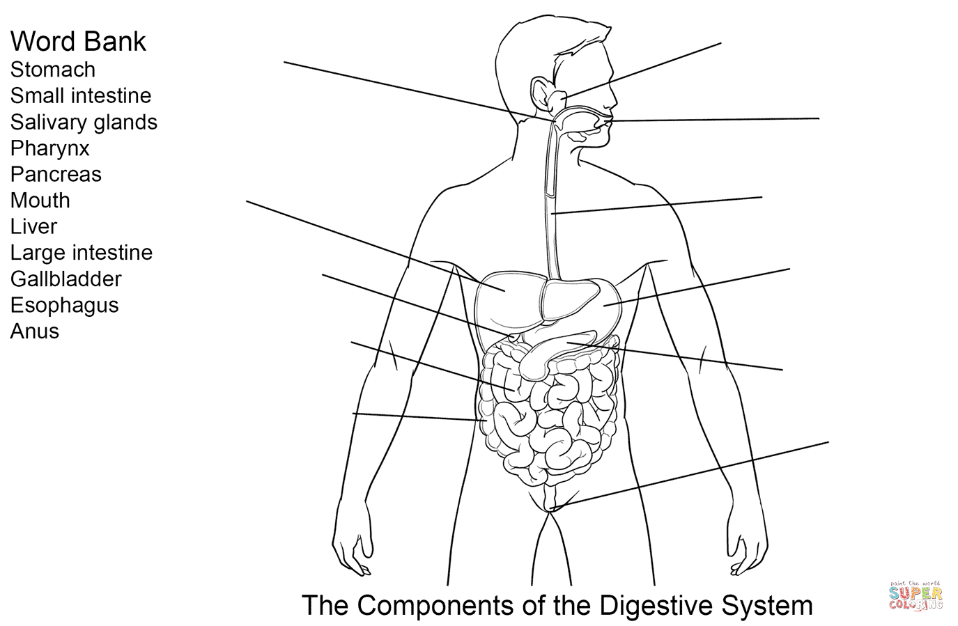 components of digestive system worksheet coloring page free coloring home. Black Bedroom Furniture Sets. Home Design Ideas