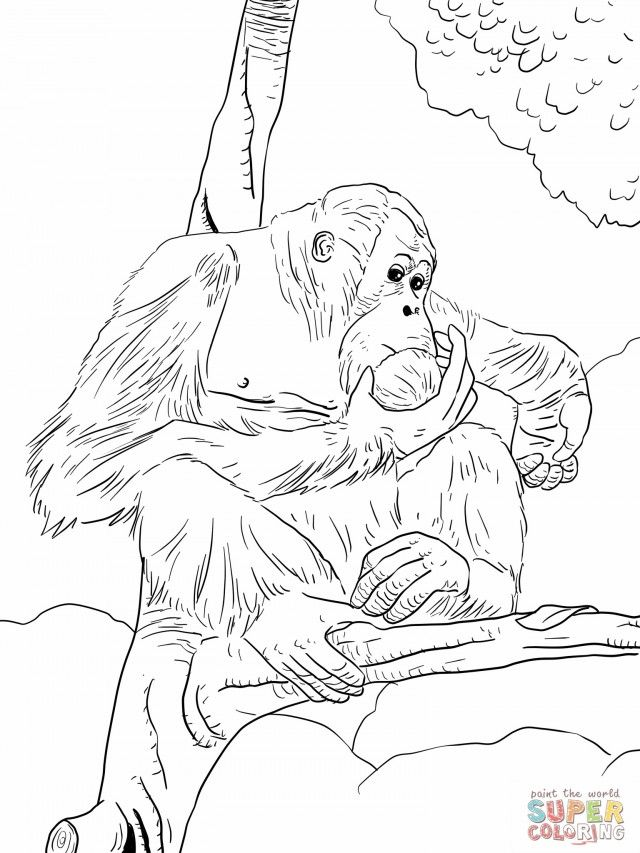 Orangutan Coloring Pages Coloring
