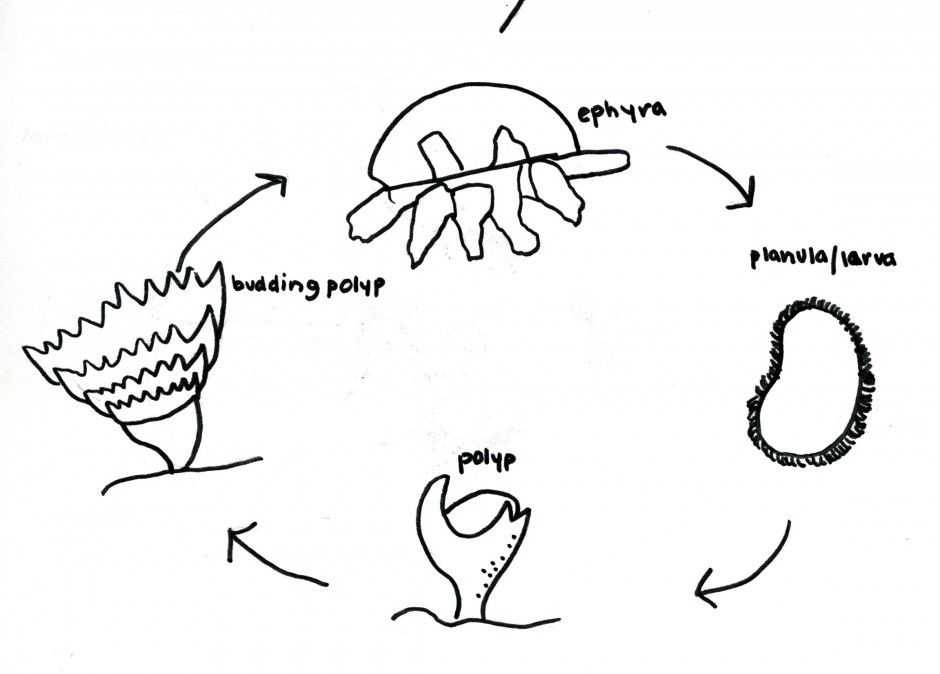 Coloring Page Life Cycle Of A Frog Hmoaxgp Coloring Pages Blog