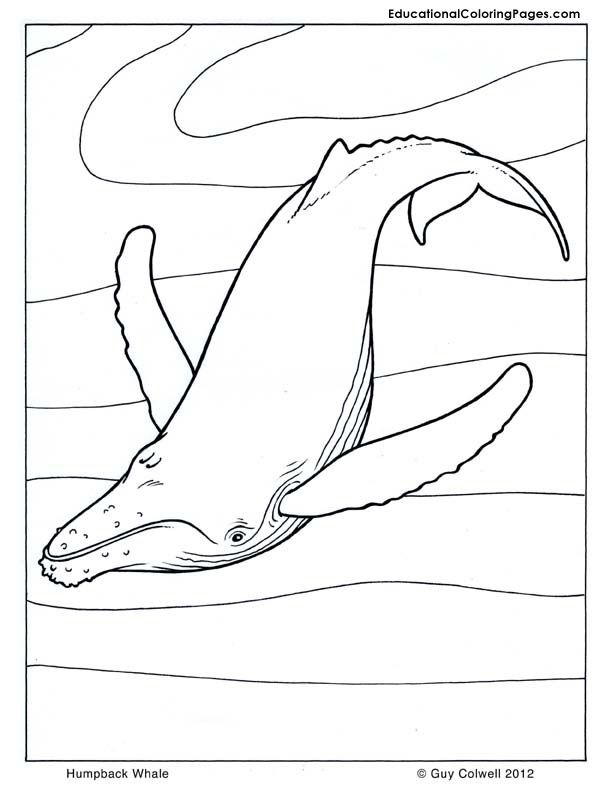 Humpback Whale Coloring Pages For Kids