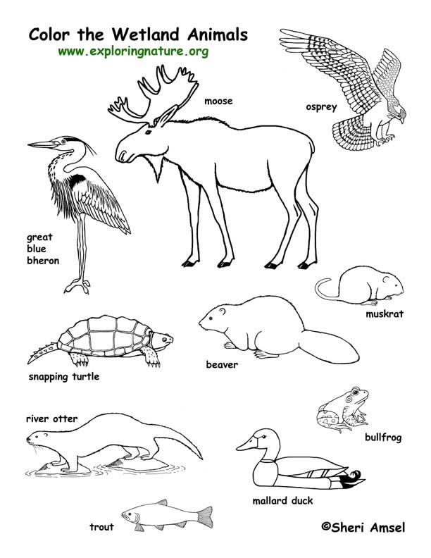 Wetland Animals Coloring Page -- Exploring Nature Educational Resource