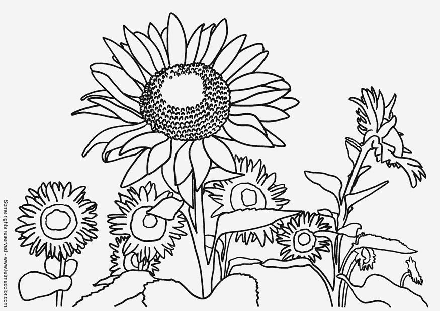 Coloring page sunflowers - img 9791.