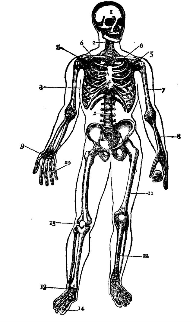 skeletal system coloring page
