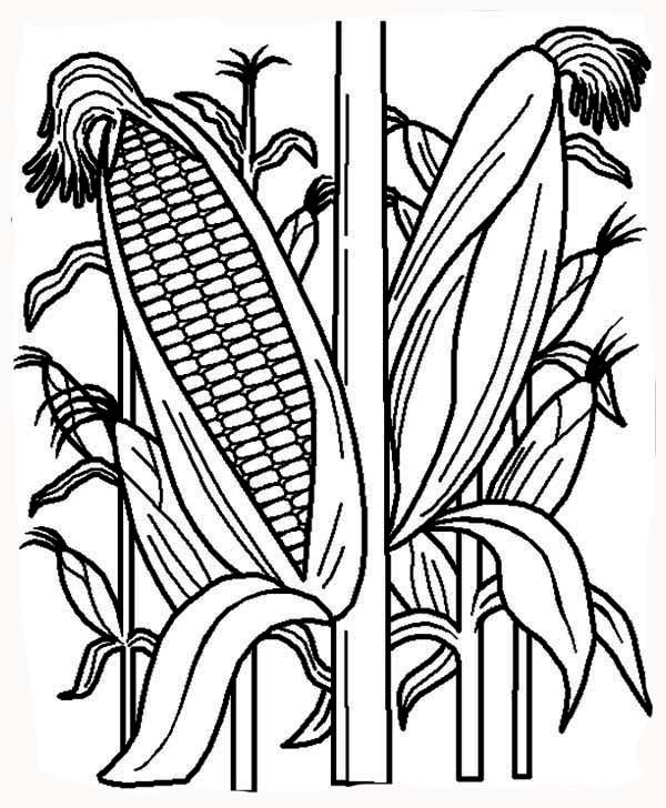 indian corn coloring pages - photo#36