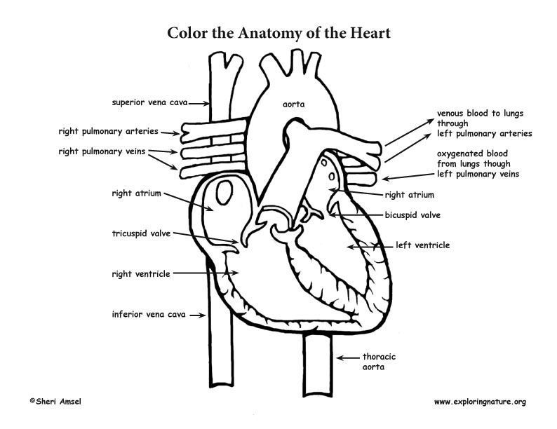anatomical heart coloring page  az coloring pages, coloring pages