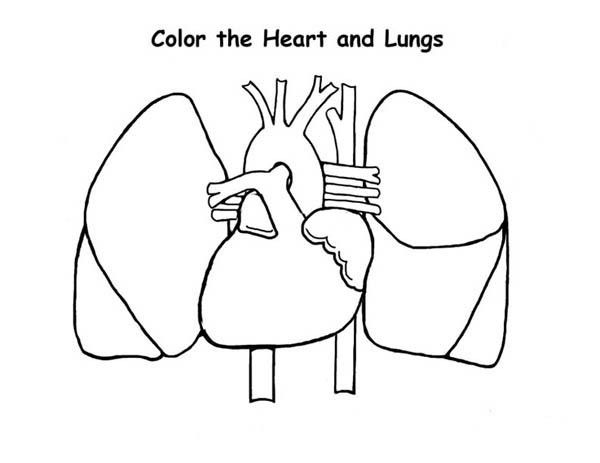 Human Anatomy Of Heart And Lungs Coloring Pages Bulk Color