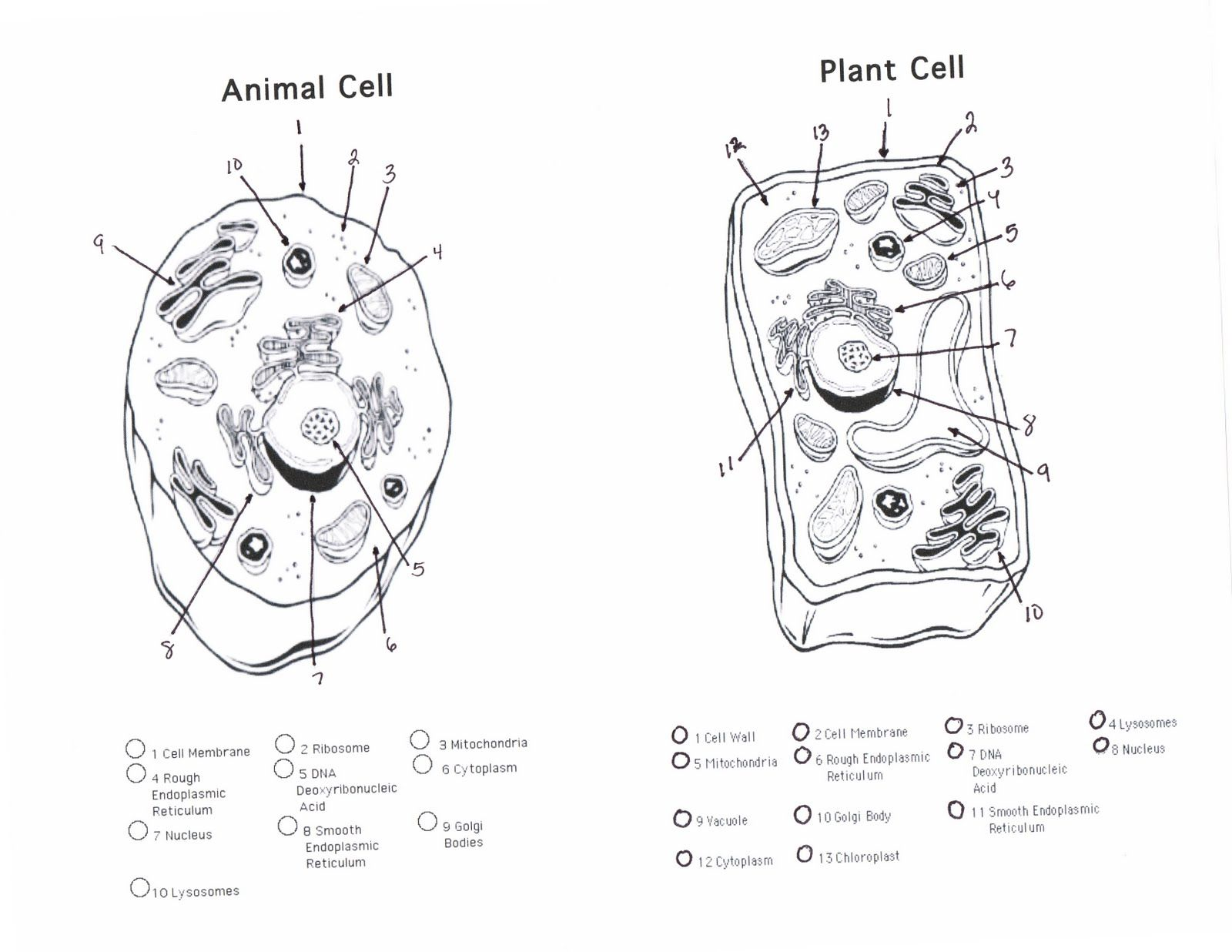 Animal Cell Coloring Pages