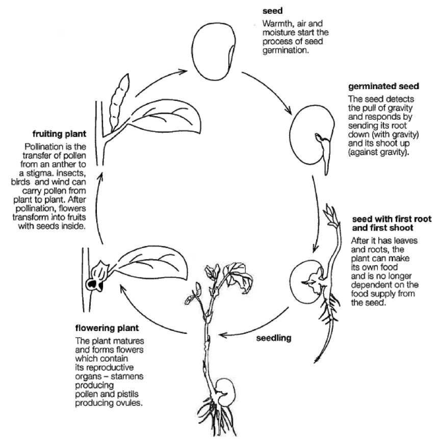 plant life cycle coloring pages