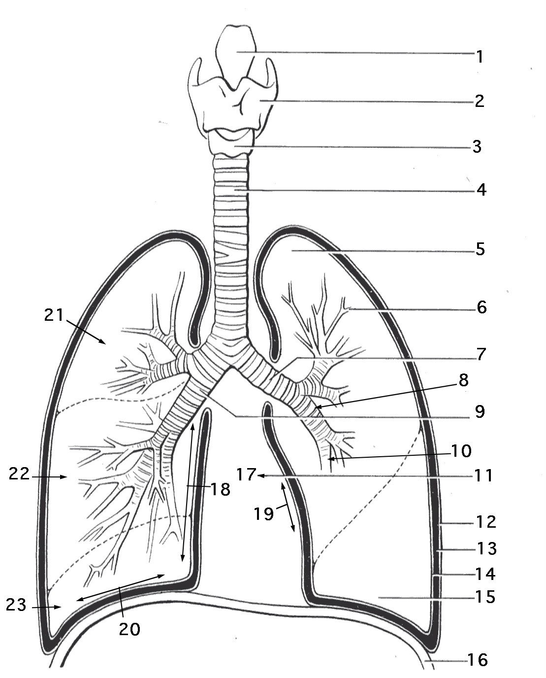 worksheet Circulatory System Worksheets Kids circulatory system worksheet abitlikethis on and respiratory system
