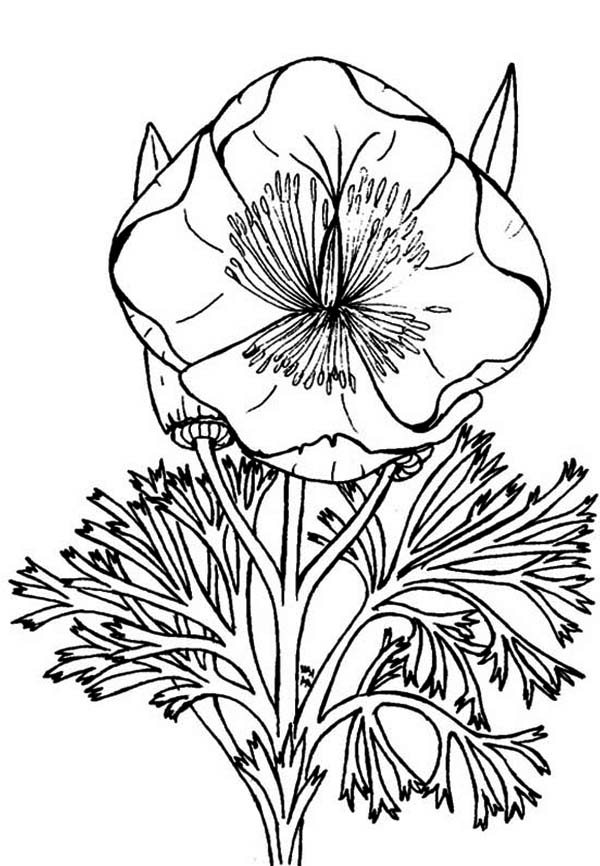 Poppy coloring pages for kids coloring home for California state flower coloring page