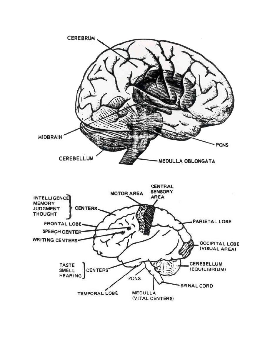 brain anatomy coloring pages human anatomy diagram