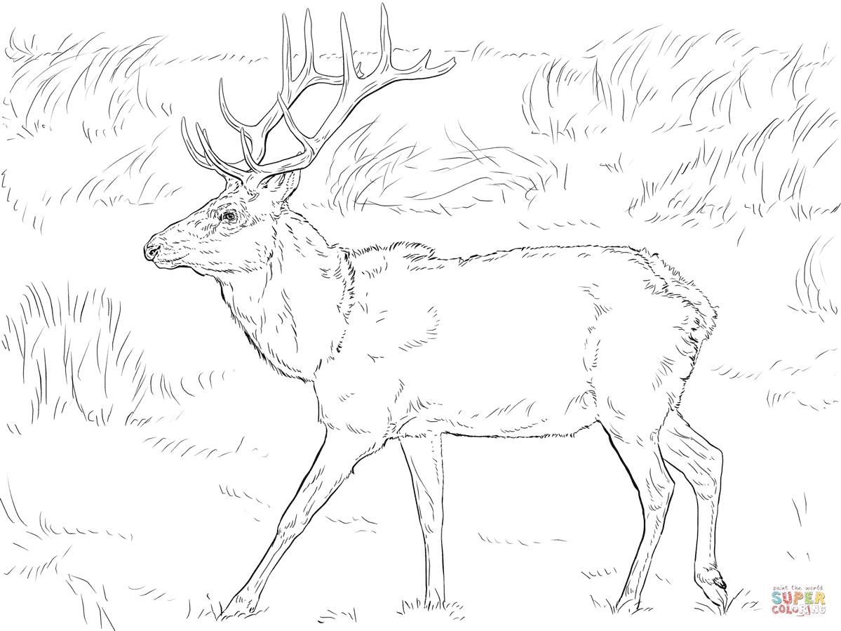 Dibujos De Ciervos Para Colorear E Imprimir: Mule Deer Coloring Page