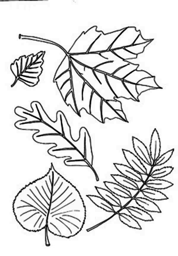 Different Type of Autumn Leaf Coloring Page - Download & Print ...