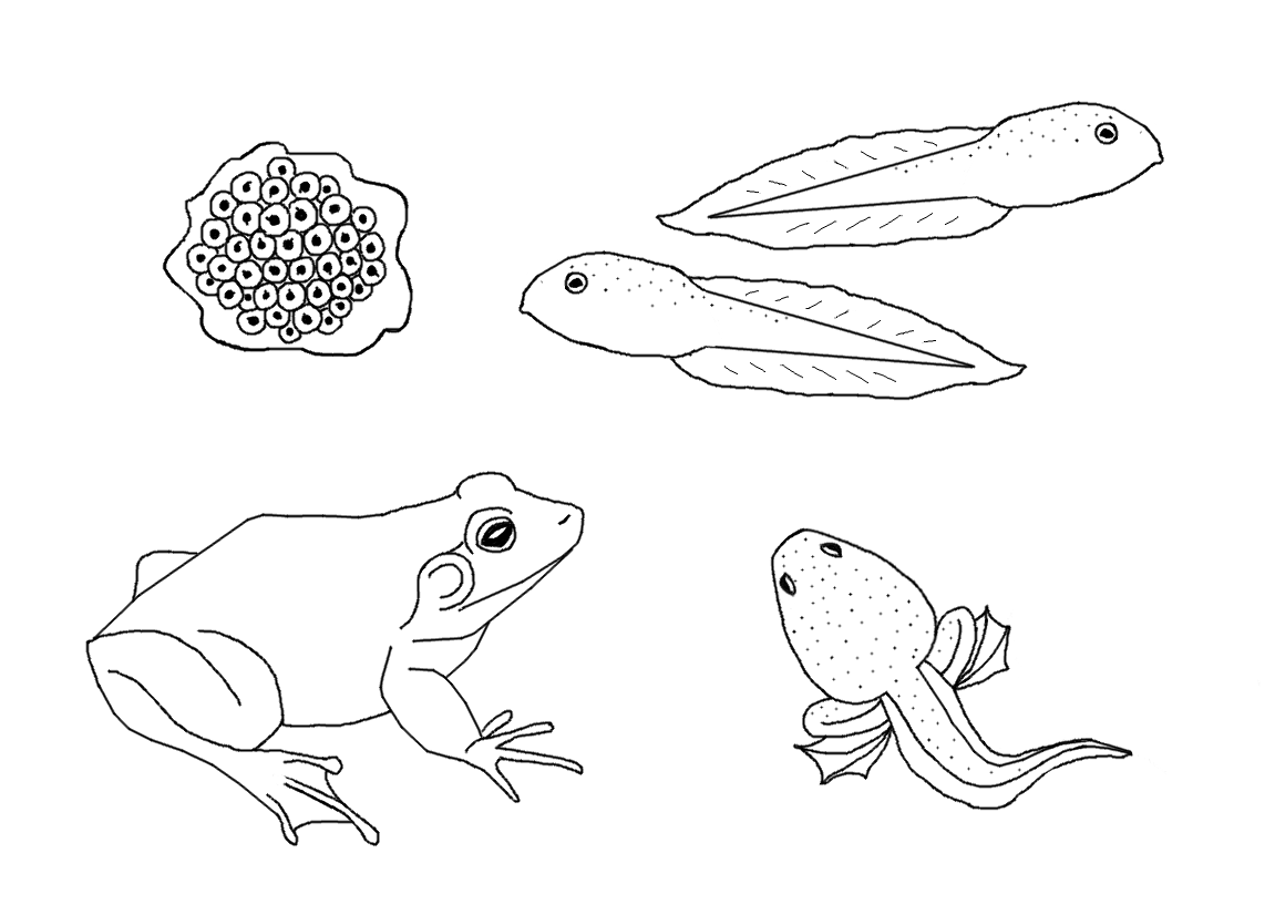 animal life cycles coloring pages - photo#29