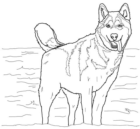 Siberian Husky coloring page | Free Printable Coloring Pages
