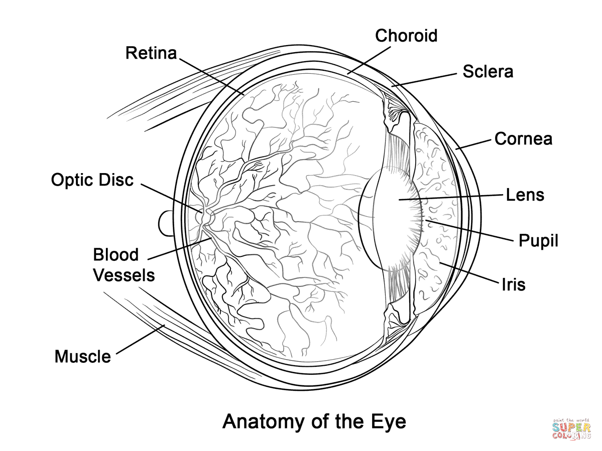 Human Eye Anatomy Coloring Page Free Printable Coloring Pages