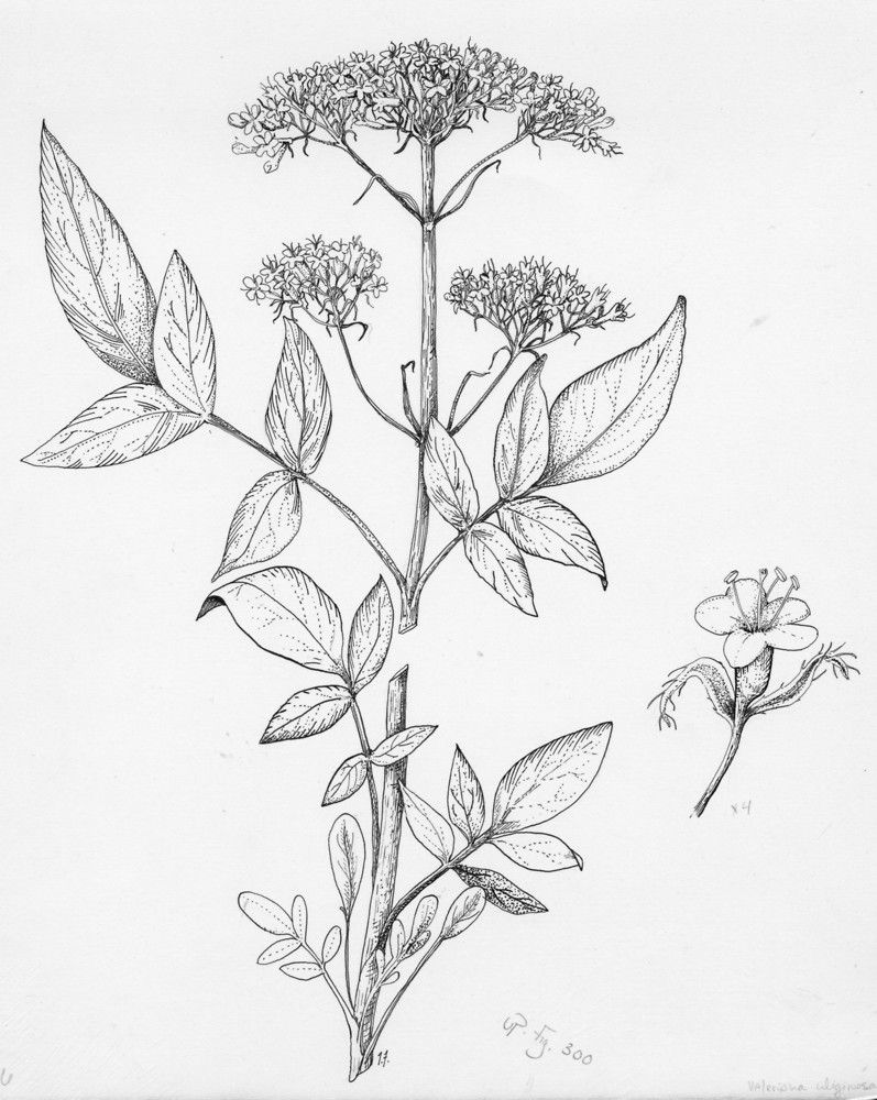 botany coloring pages - photo#18