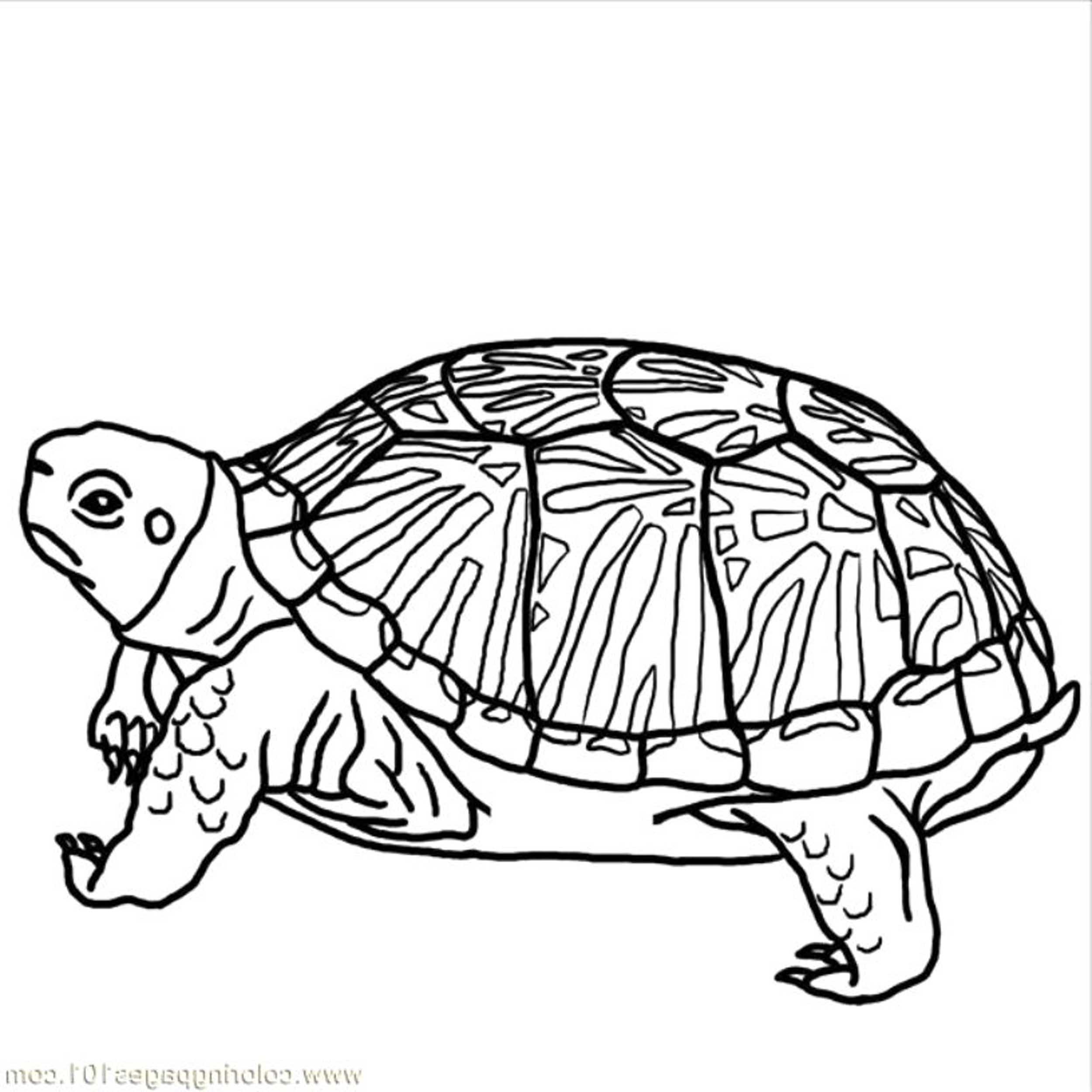 Turtles Coloring Page Coloring