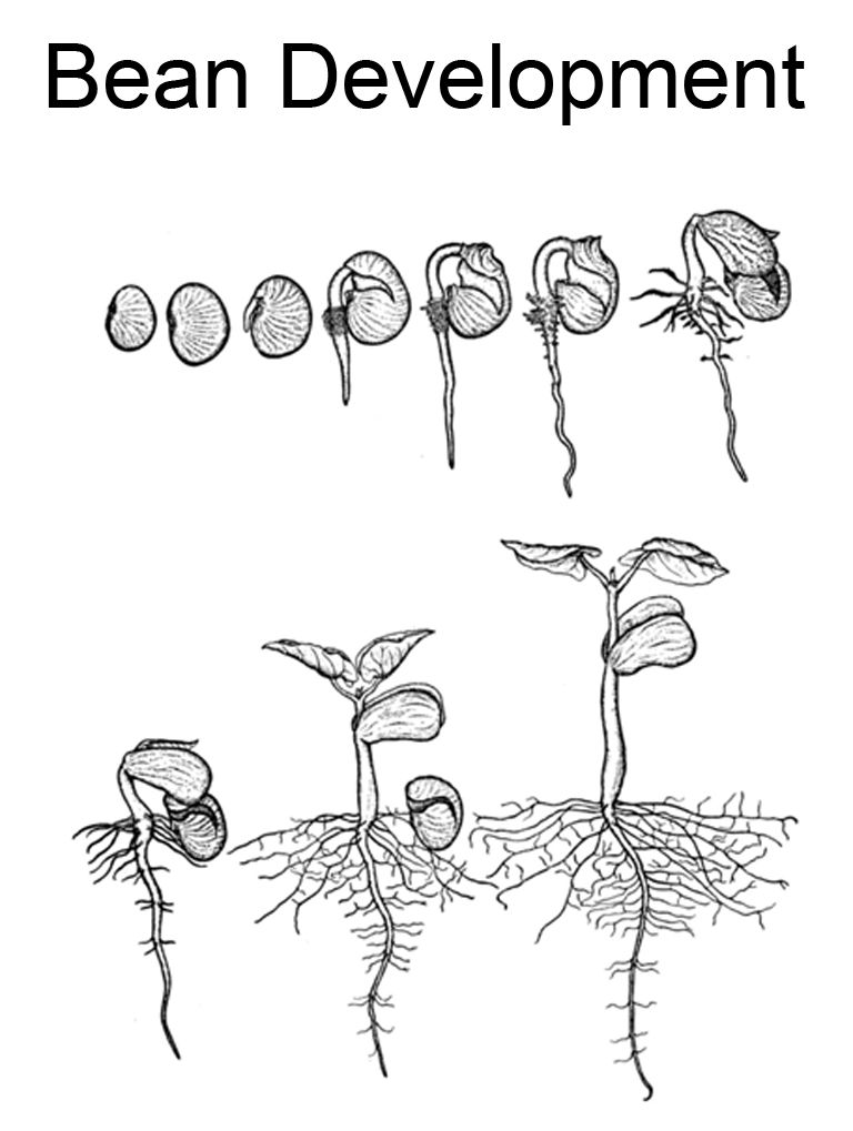 bean plant coloring page - life cycle of a bean plant for kids worksheet