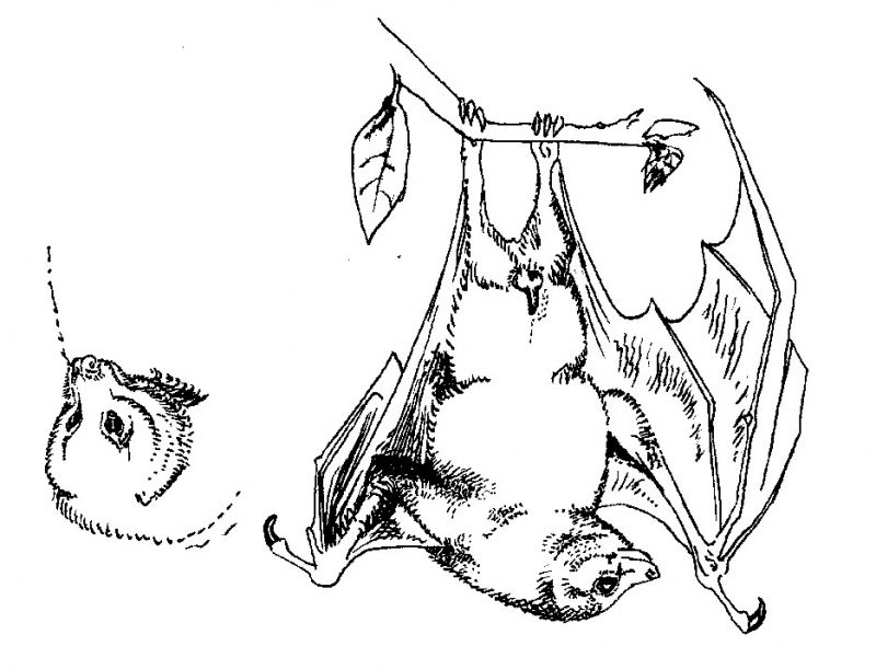Fruit Bat Drawings Images & Pictures - Becuo