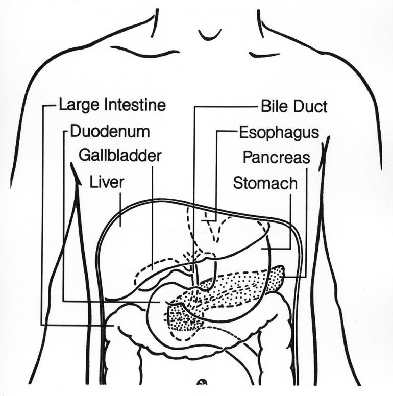 Coloring Page For Digestive System