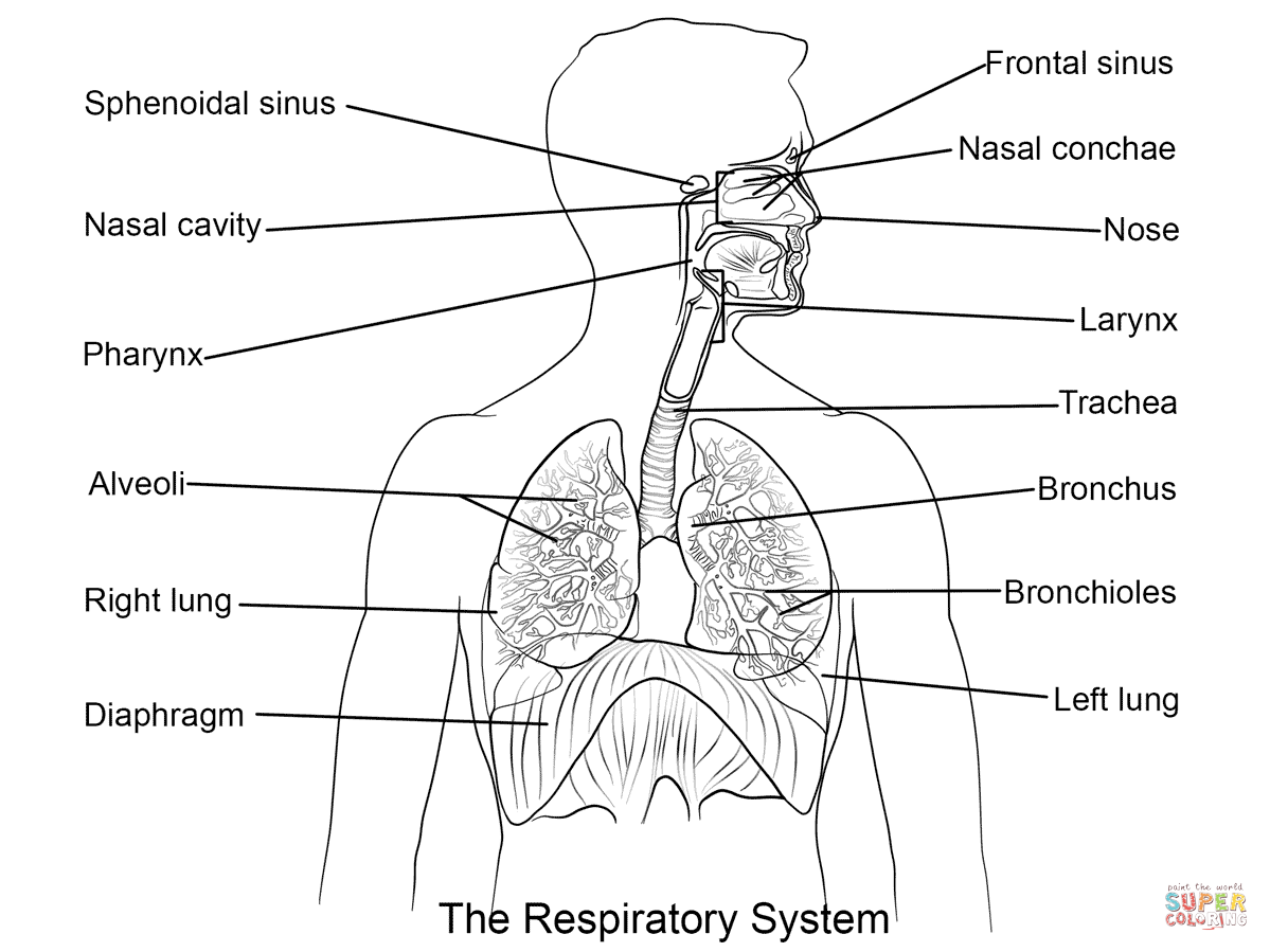 Respiratory System coloring page | Free Printable Coloring Pages