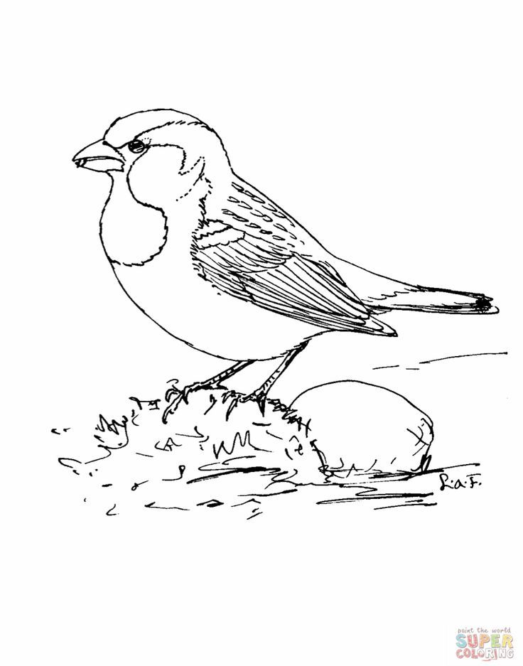 Sparrow coloring pages - photo#45